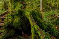 Mossy Roots, Cathedral Grove